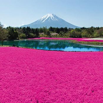 インスタ映え間違いなし!ピンクの海が広がる「富士芝桜まつり」