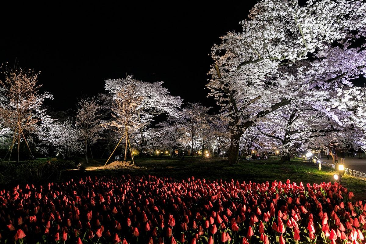 京都府立植物園 桜ライトアップ2019