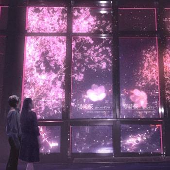 東京タワーに夜桜が出現!「TOKYO TOWER CITY LIGHT FANTASIA~YOZAKURA NIGHT~」