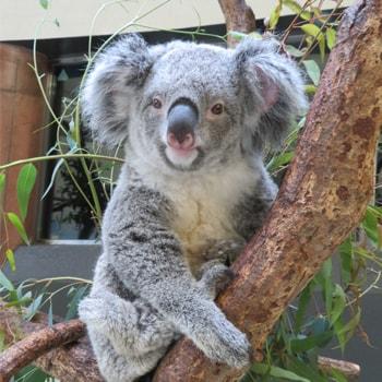 GWに〈多摩動物公園〉で「コアラ来園35周年記念イベント」を開催!