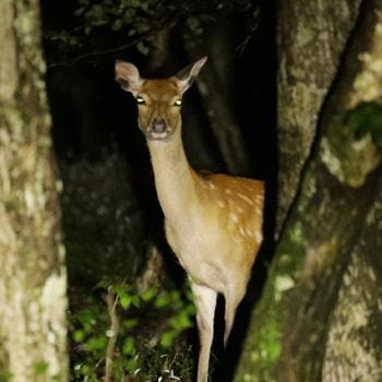 夜の軽井沢で野生動物を観察できる「ワイルドサファリツアー」が開催!