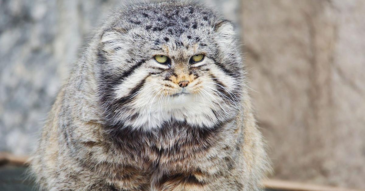 モッフモフの野生ネコ、 マヌルネコ