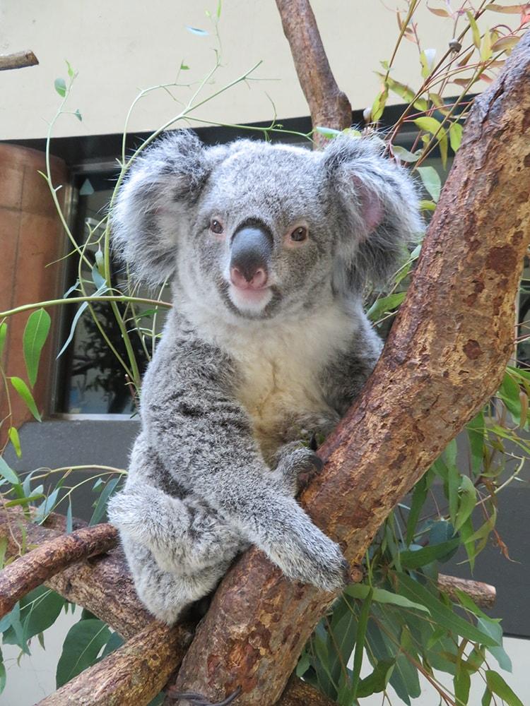 〈多摩動物公園〉 コアラ来園35周年記念イベント