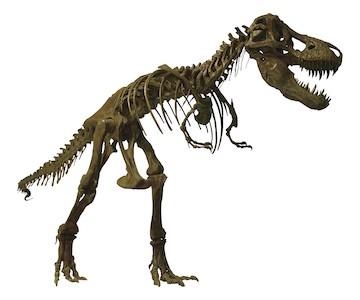 《ティラノサウルス全身復元骨格》天草市立御所浦白亜紀資料館所蔵