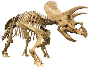 《トリケラトプス全身復元骨格》福井県立恐竜博物館所蔵