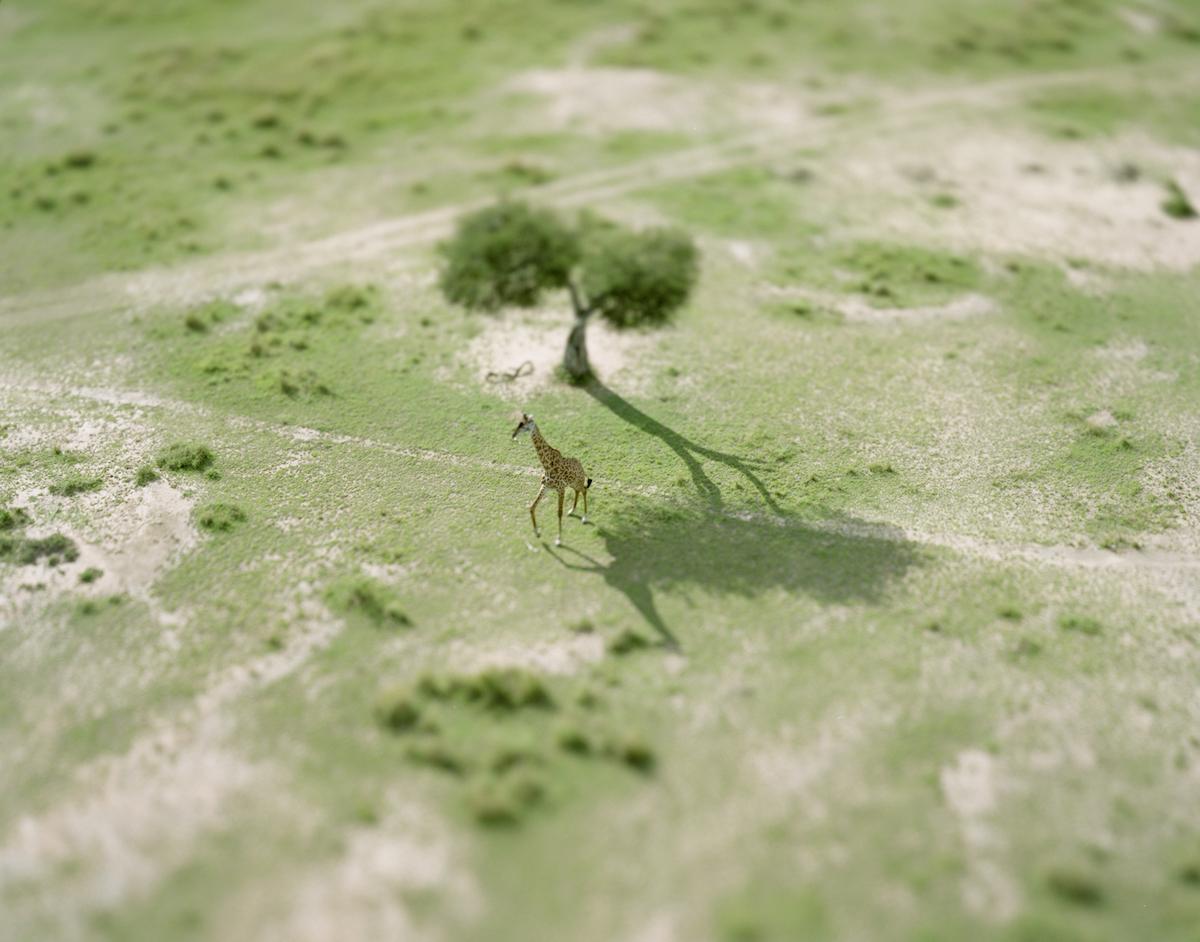 kenya / giraffe / 2008  © Naoki Honjo