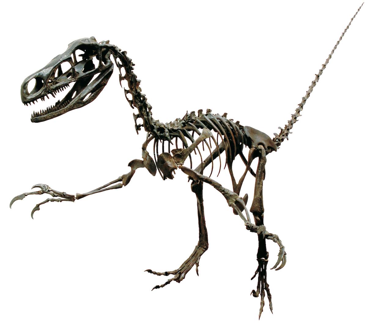 「フクイベナートル」 福井県立恐竜博物館所蔵