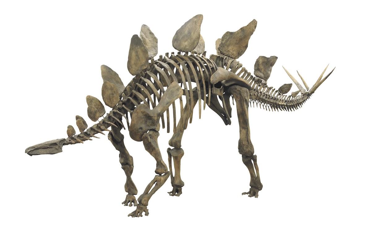「ステゴサウルス」 福井県立恐竜博物館所蔵