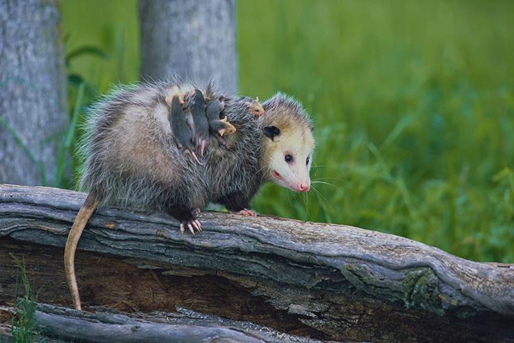 キタオポッサムの親子 ©KAZ TAKAHASHI/Nature Production /amanaimages