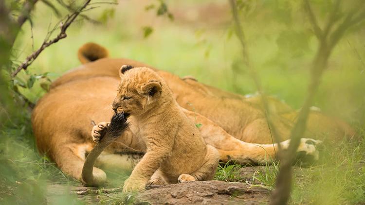 ライオンの親子 ©Karen Deakin/Robert Harding /amanaimages