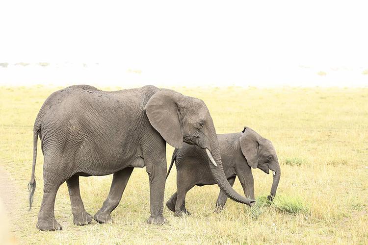 アフリカゾウの親子 © Cavan Images /amanaimages